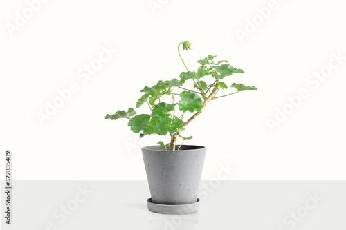 Beautiful Geranium houseplant in flower pot Wallpaper Mural