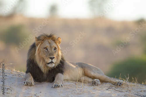Fototapety, obrazy: Black maned african lion in the wilderness