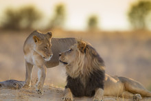 Mating Lions, Lion Mating, In ...