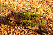 A Rotted Branch With Moss Cover And Autumn Leaves