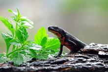 Salamander Red Belly Front Vie...