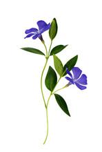 Set Of Blue Periwinkle Flowers