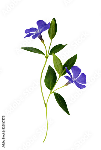 Obraz na plátně Set of blue periwinkle flowers