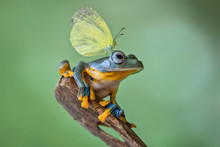 Butterfly On A Javan Tree Frog, Indonesia