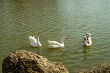 Three Curious White Geese, Approaching The Edge Of The Lake Towards A Rock, Under The Rays Of Late Afternoon Sun