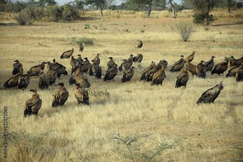 African white-backed vulture (Gyps africanus) Wallpaper Mural