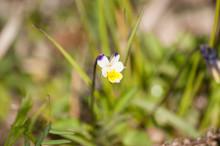 Viola Tricolor Flower Macro