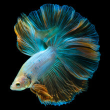 Portrait Of A Turquoise Betta Fish