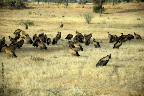 Photo African white-backed vultures (Gyps africanus)