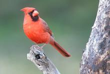 Northern Cardinal In A Backyar...