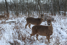 Two White-tailed Deer Does In Snow At Miami Woods In Morton Grove, Illinois