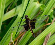 Closeup Of A Widow Skimmer Dra...