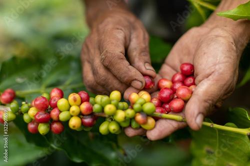 Obraz coffee plantation - fototapety do salonu