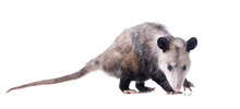 Female Virginia Opossum (Didel...