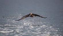 Seagull In Flight Getting Read...