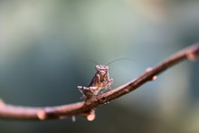 Close Up View Of A Praying Male Mantis On A Leaf In The Early Spring On The Tree Branch