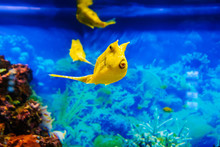 Yellow Longhorn Cowfish Fish S...