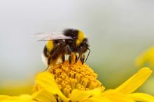 Bumblebee Feeding On A Yellow Aster