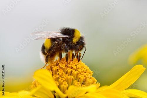 Bumblebee feeding on a yellow aster Fototapeta
