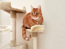 Ginger Cat Sitting On The Cat Activity Center Or On The Tower. Copy Space Is On The Right Side. Selective Focus.