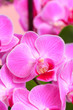 canvas print picture - Pink orchid close up view  background. - Image