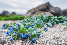 Oysterplant - Mertensia Maritima, Beautiful Rare Blue Flower From Atlantic Islands, Runde, Norway.