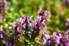Lamium Purpureum,close Up Of A...