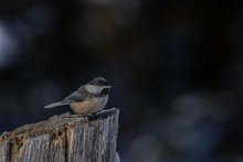 Closeup Shot Of A Beautiful Carolina Chickadee Resting On The Log With A Blurred Background