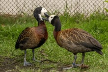 Pair Of Cute Canada Geese In A Grassy Area With A Blurred Background