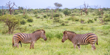 Burchell's Zebra Pair Together...