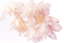 Exotic White And Pink Tuberose...