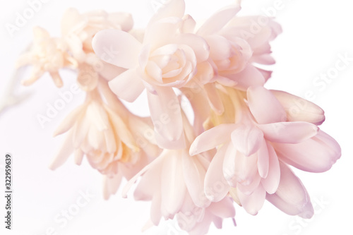 Exotic white and pink tuberose flowers in soft light, nostalgic and romantic background texture Wallpaper Mural