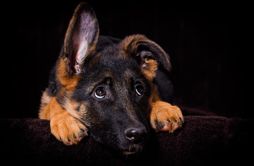 Shepherd puppy lies on a brown background