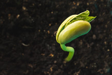 Green Bean Seedling Is Growing...