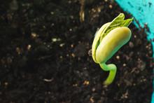 Green Bean Seedling Is Growing. Macro Shot With Shalow Dof.