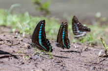 Butterflies Looking For Food O...
