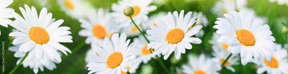 Fototapeta Macro Shot of white daisies in the summer garden.