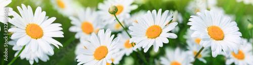 Fototapeta Macro Shot of white daisies in the summer garden. obraz