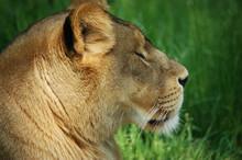 Close-up Of A Lioness Portrait...