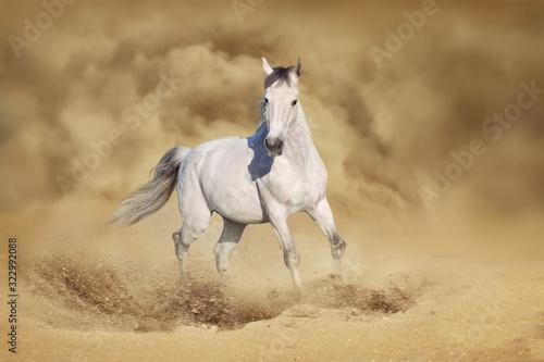 Fototapeta White arabian Horse obraz