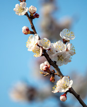 Apricot Flowers On A Backgroun...
