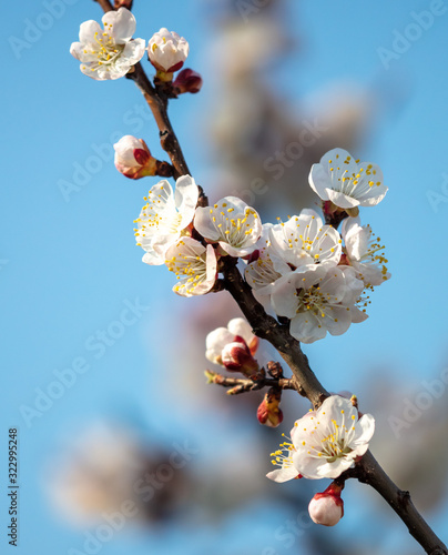Apricot flowers on a background of blue sky in spring