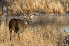 Buck Whitetail Deer In Colorad...