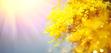 Mimosa Spring Flowers Easter B...