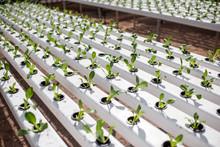 Green Lettuce Growing On Hydro...
