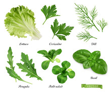 Greens And Spices Realistic Vector Set. Lettuce, Coriander Leaves, Dill, Arugula, Field Salad, Basil. Food Illustration