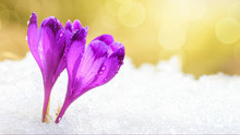 Spring Background - View Of The Fresh Purple Crocuses Blossom In The Carpathians Mountains On Top Of The Mountain On Snow Background, Closeup With Space For Text