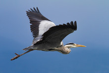 Gray Heron In Flight Over A Bl...