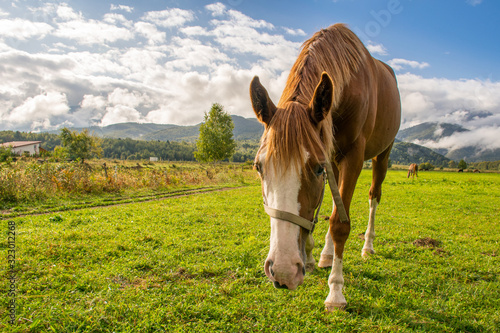 Beautiful brown horse walking in the backdrop of blue skies with beautiful white clouds near the Transylvanian mountains. These horses are mostly used by shepherds in the bear county