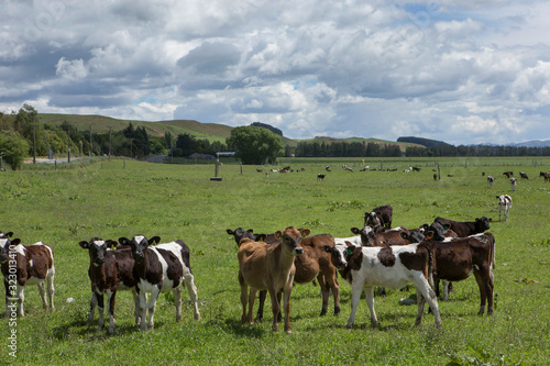 Papel de parede Cattle cows New Zealand Highway 83